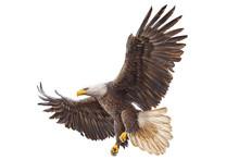 Bald Eagle Landing Hand Draw On White Background Vector Illustration.