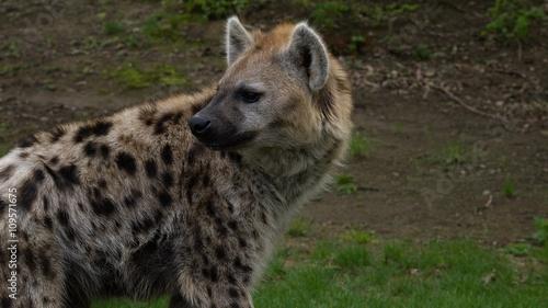 In de dag Hyena Hyena looking back