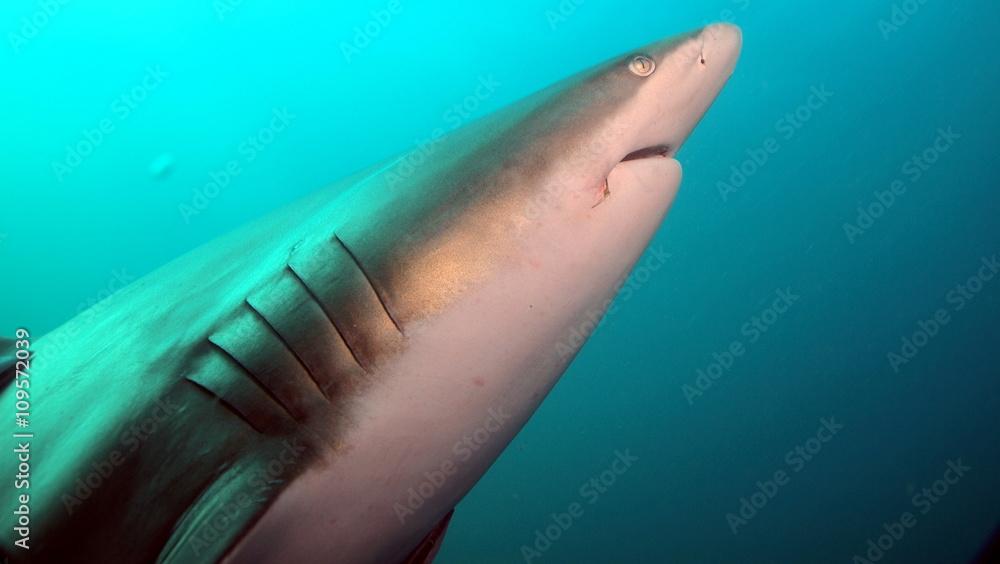 Fototapeta Sharp shark arrow