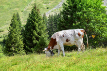 A Cow Browses On Alpine Meadow In Summertime