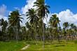 Пальмы Доминиканской республики