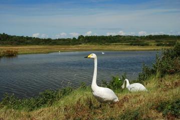Cygne chanteur, Parc du Marquenterre, Baie de Somme, France