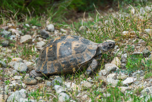 Poster Tortue A wild tortoise walking on the ground