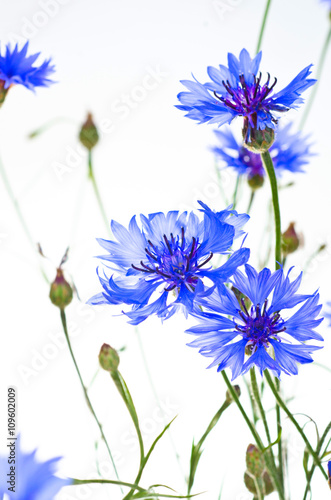 niebieskie-chabry-na-bialym-tle