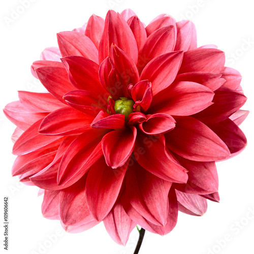 Papiers peints Dahlia Red dahlia