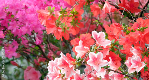 Montage in der Fensternische Azalee Beautiful blooming azalea