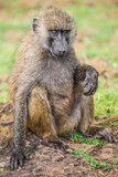 Young baboon resting in the Nakuru national park (Kenya)