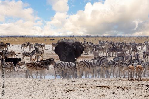Canvas Prints Zebra full waterhole with Elephants