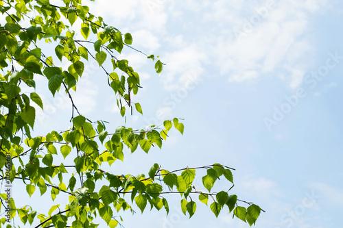Photo sur Toile Bosquet de bouleaux березовые ветки с молодыми листиками