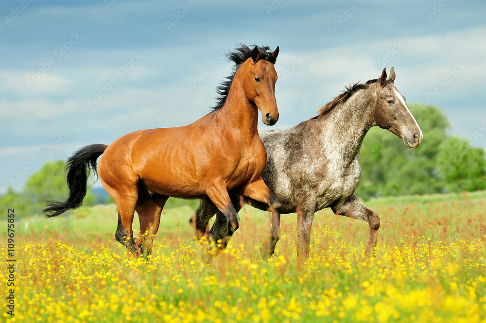 Fototapety, obrazy: konie w galopie