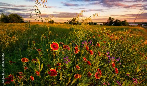 Poster Texas Texas Wildflower Sunset
