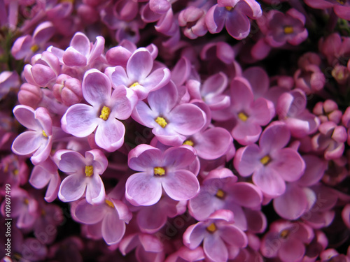 Foto op Plexiglas Lilac Lilac flowers background