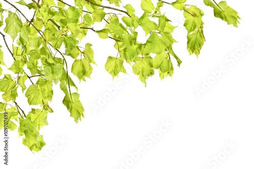 Młode wiosenne gałązki lipy z liśćmi na białym tle.