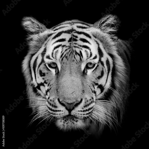 Fotomurales - Black & White Beautiful tiger - isolated on black background