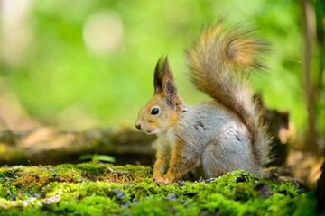 grey squirrel in the spring