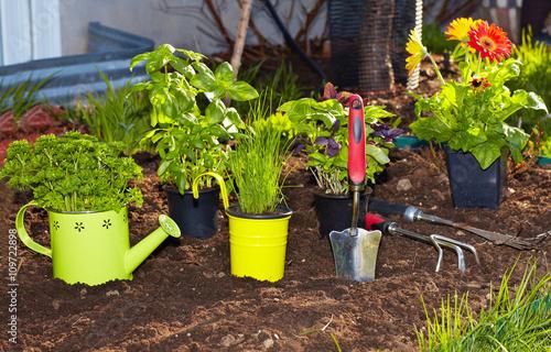Fototapeta Parsley and  gardening tools in the garden. obraz