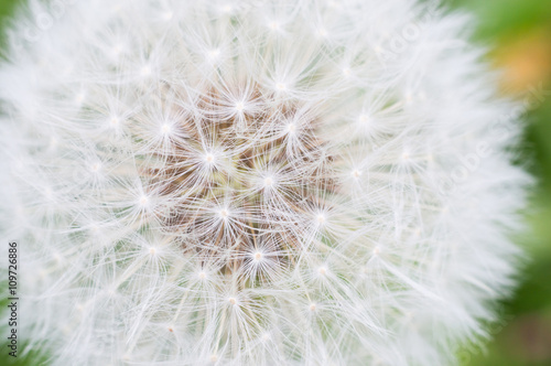 Poster Paardenbloem Lonely dandelion on grass