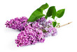 Branch purple lilac
