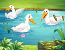Three Ducks Swimming In The Pond