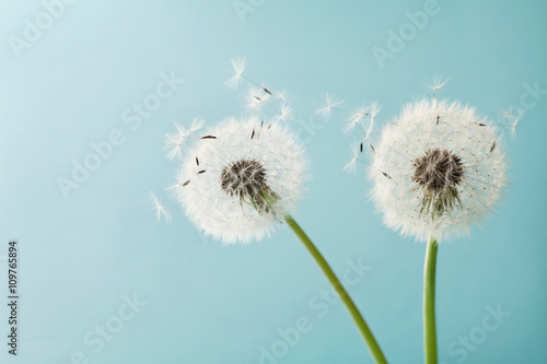 Tuinposter Paardebloem Beautiful dandelion flowers with flying feathers on turquoise background, vintage card, macro