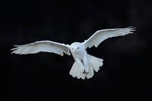 Snowy Owl, Nyctea Scandiaca, W...
