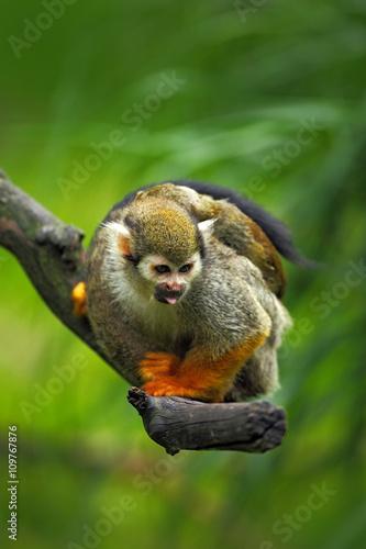 Tuinposter Kikker Common Squirrel Monkey, Saimiri sciureus, animal sitting on the branch in the nature habitat, Costa Rica