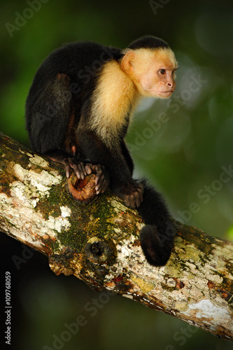 Valokuva  White-headed Capuchin, Cebus capucinus, black monkey sitting on the tree branch