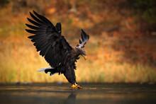 White-tailed Eagle, Haliaeetus...