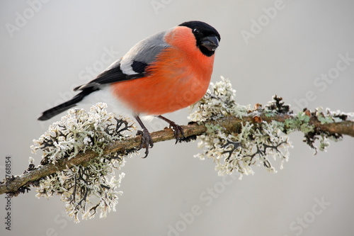 Leinwand Poster Bullfinch, Pyrrhula pyrrhula, sitting on yellow lichen branch, Sumava, Czech rep