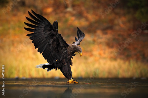 Photo Stands Eagle White-tailed Eagle, Haliaeetus albicilla, feeding kill fish in the water, with brown grass in background, bird landing, eagle flight, Norway