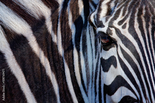 Poster Zebra Monochromatic image of a the face of a Grevy's zebra, big eye in the black and white strips, detail animal portrait, Kenya