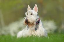 White, Wheaten Scottish Terrier, Cute Dog On Green Grass Lawn, White Flower In The Background,  Scotland, United Kingdom