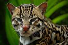 Detail Portrait Of Ocelot, Nice Cat Margay Sitting On The Branch In The Costarican Tropical Forest, Animal In The Nature Habitat