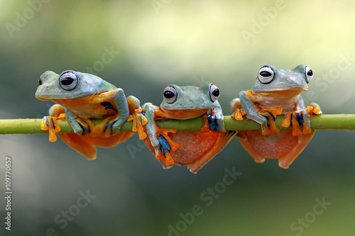 Three Javan Gliding tree frogs on a branch, Indonesia