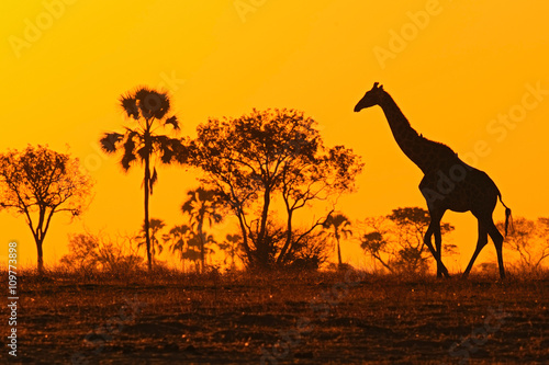Garden Poster Brown Idyllic giraffe silhouette with evening orange sunset and trees, Botswana, Africa