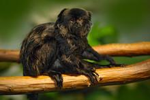 Goeldi's Marmoset Or Goeldi's Monkey, Callimico Goeldii, Dark Monkey In The Nature Habitat, Green Forest Background, National Park, Peru