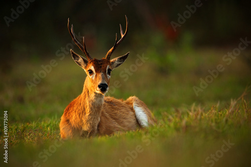 Fotografija  Pampas Deer, Ozotoceros bezoarticus, sitting in the green grass, evening sun, an