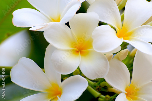 Staande foto Frangipani White Plumeria flowers beautiful