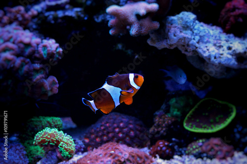 fototapeta na drzwi i meble Clownfish Nemo in Marine reef aquarium