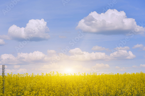 bright yellow canola field with flowers and blue sky with