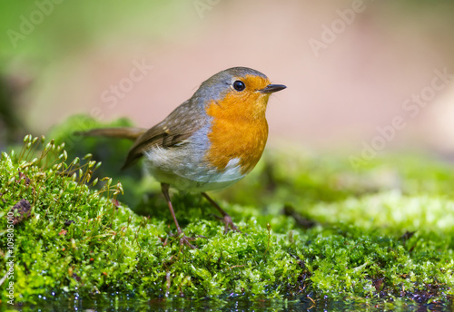 obraz dibond The Robin on the green Moss