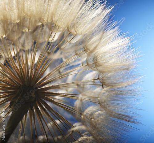 big dandelion on a blue background #109805486