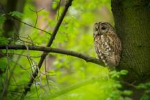 Tawny Owl (Strix Aluco) - Puszczyk Zwyczajny