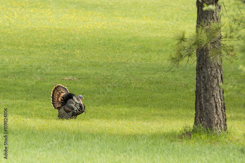 Tom turkey struts around.