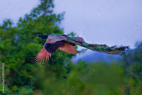 Fotografie, Obraz  Male Indian peafowl, Blue peafowl(Pavo cristatus) in real nature