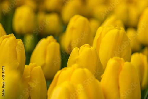 Beautiful giant Tulips in the garden, Selective Focus - 109876071
