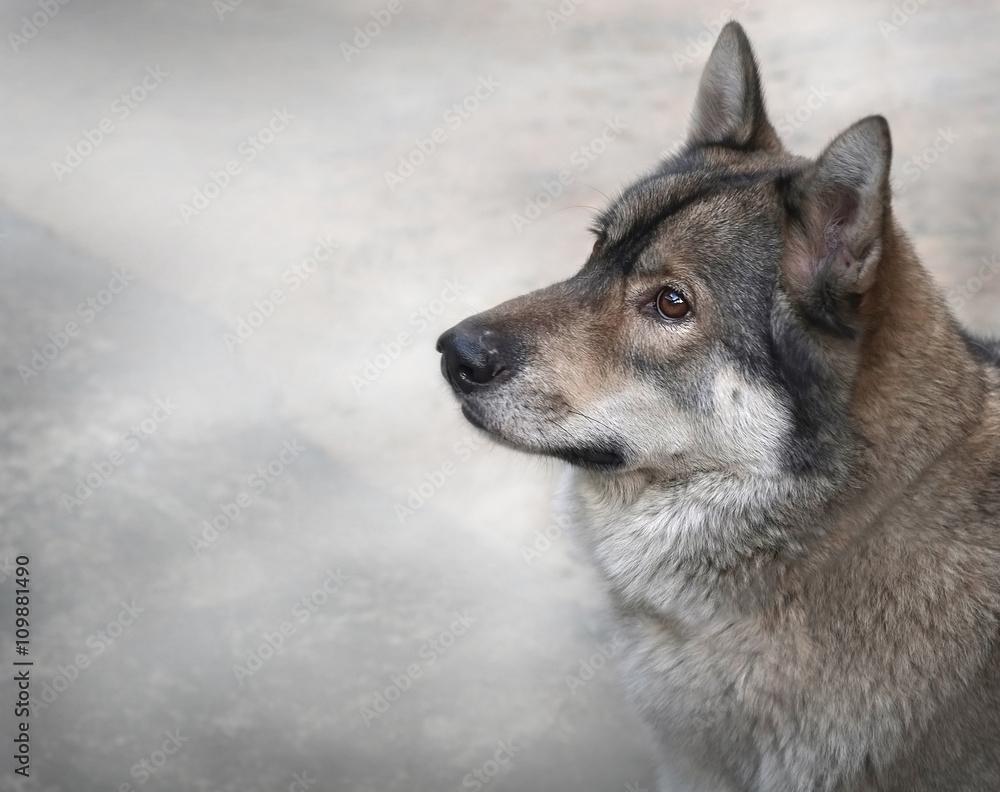 Fotografía Lobo / Retrato de lobo y la niebla suave con espacio de ...