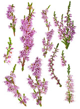 Set Of Heather Blossoms Isolat...