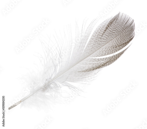 striped seagull straight feather isolated on white