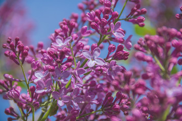 Fragrant flowers and buds of lilac.